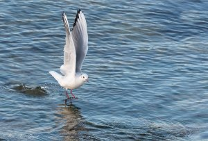 Mouette rieuse01