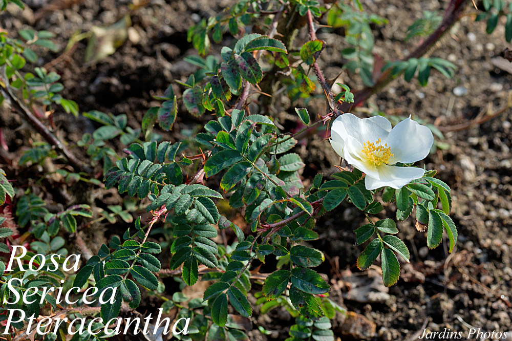 rosa-sericea-pteracantha2
